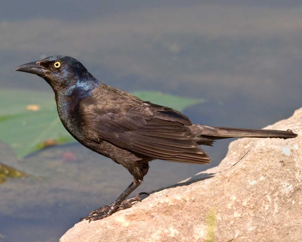 BJ Knapp author of Beside the Music watches grackle.