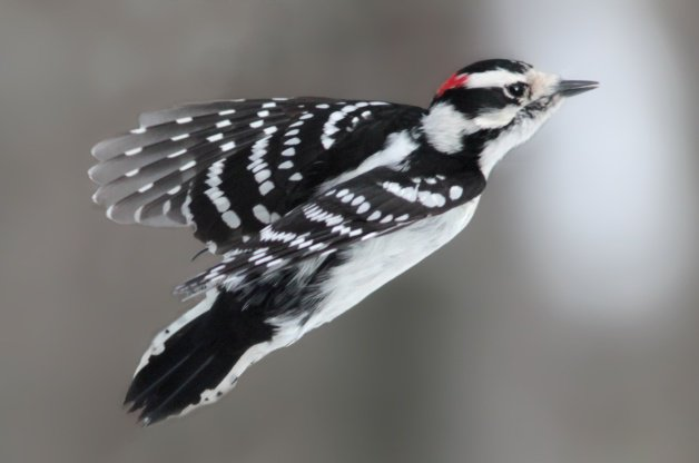 BJ Knapp author of Beside the Music watches downy woodpeckers.