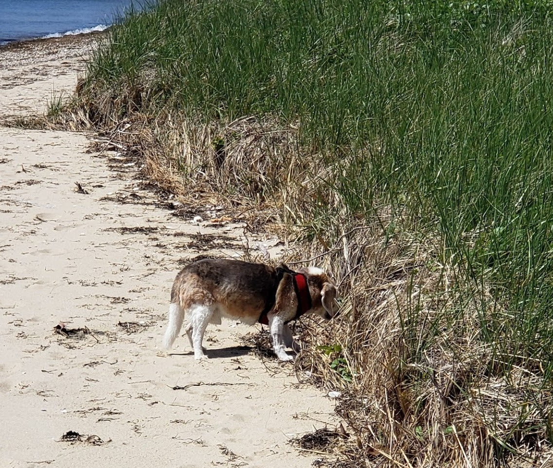 Nemo is a 16.5 year old beagle who loves beach combing in Bassett Island