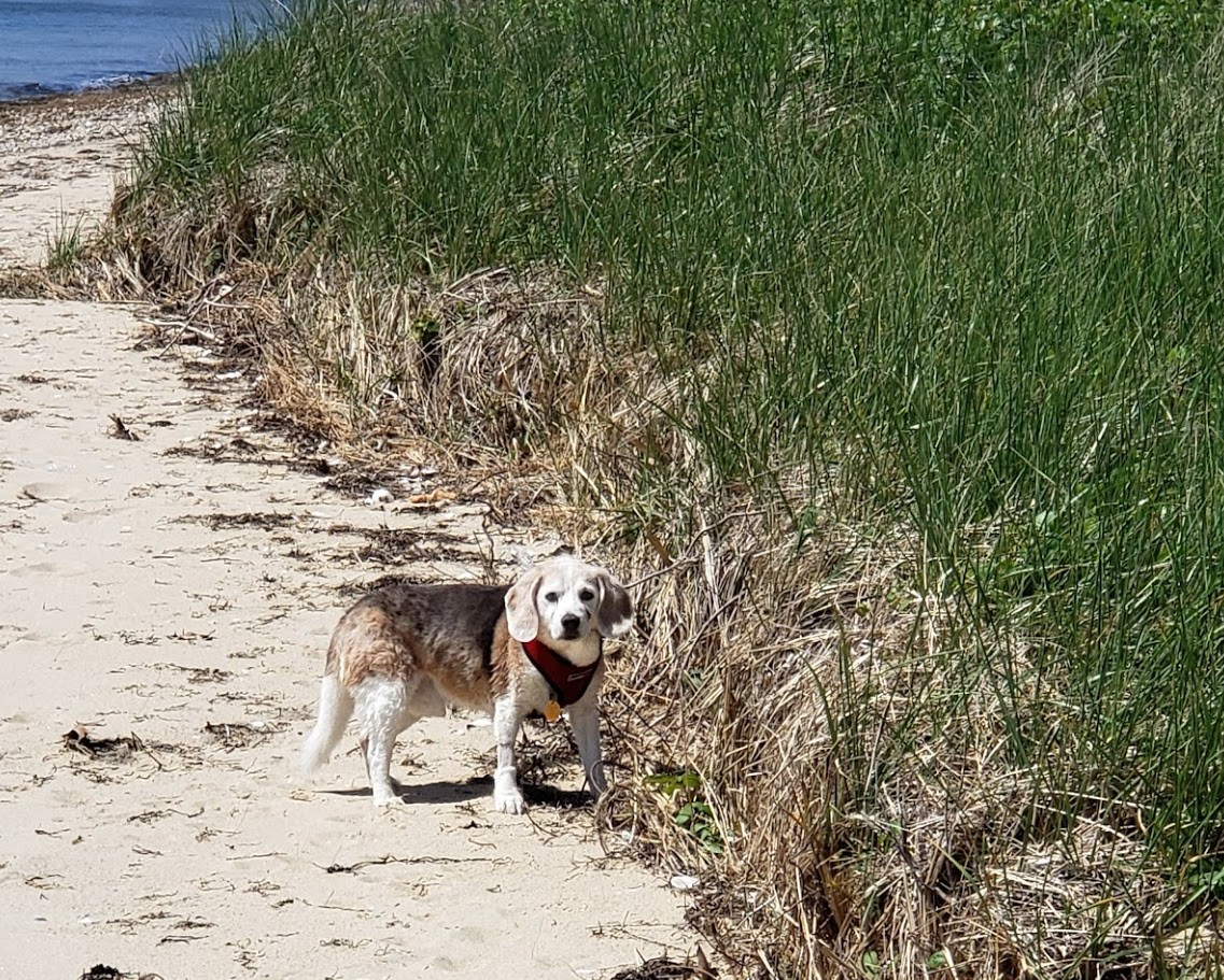 Nemo is a 16.5 year old beagle who enjoys beach combing on Bassett Island