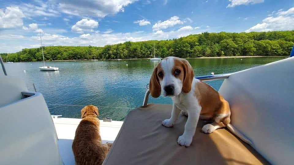BJ Knapp author of Beside the Music has a new lemon beagle, Phin!
