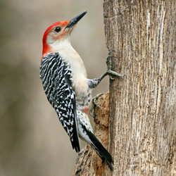 BJ Knapp author of Beside the Music watches red bellied woodpeckers.