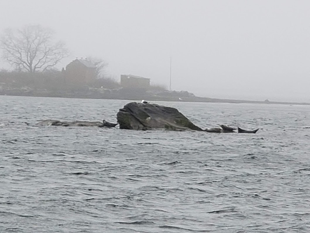 BJ Knapp author of Beside the Music visited seals at Sighting Rock in Newport, RI