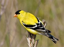 BJ Knapp author of Beside the Music watches goldfinches.
