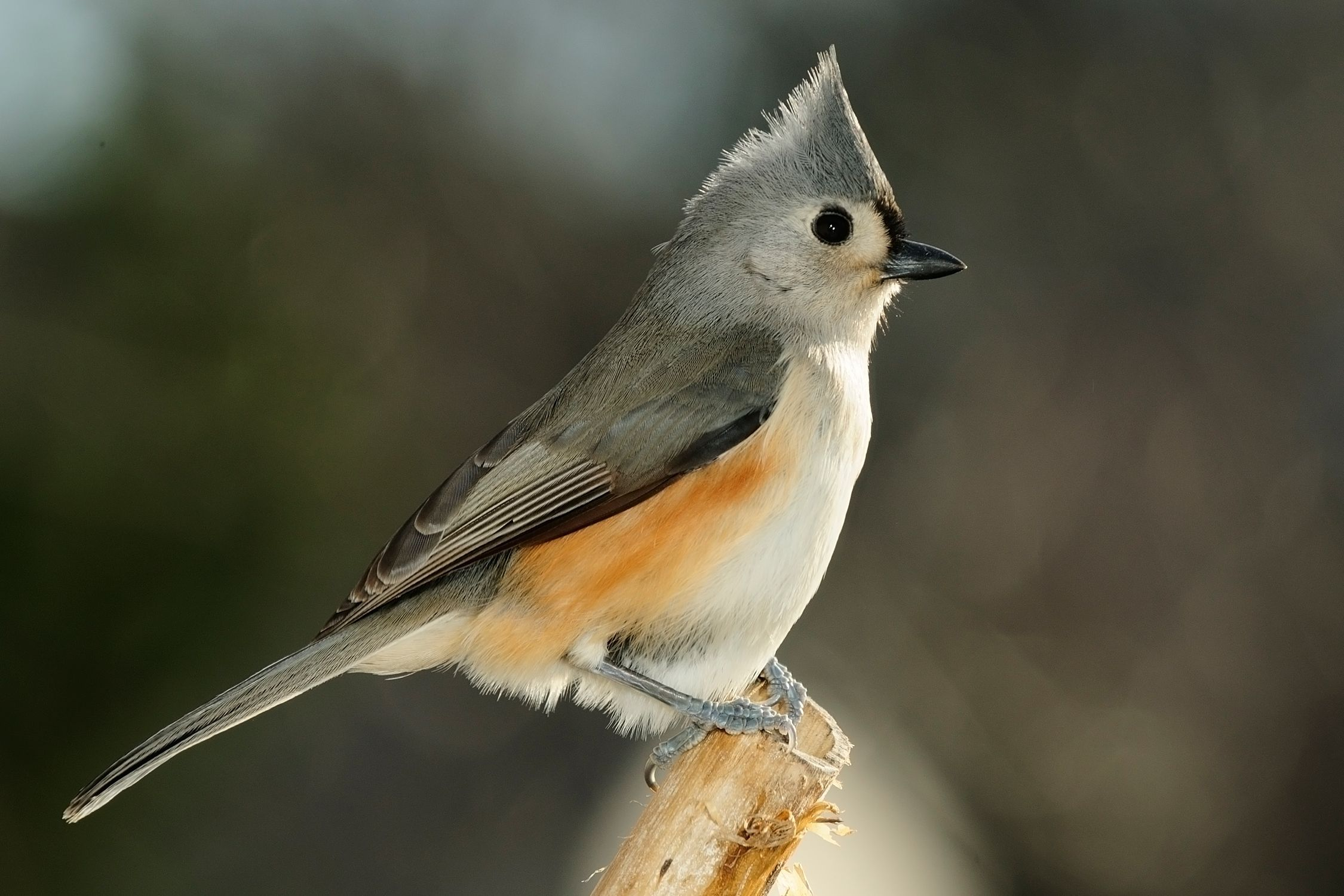 BJ Knapp author of Beside the Music watches tufted titmouse