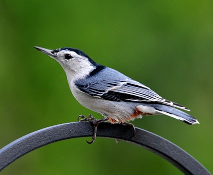 BJ Knapp author of Beside the Music watches white breasted nuthatch